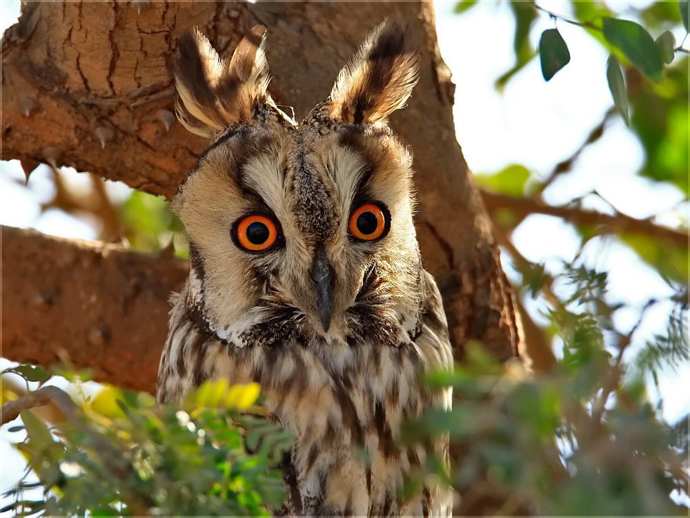 first photographic record of long eared owl in india conservation