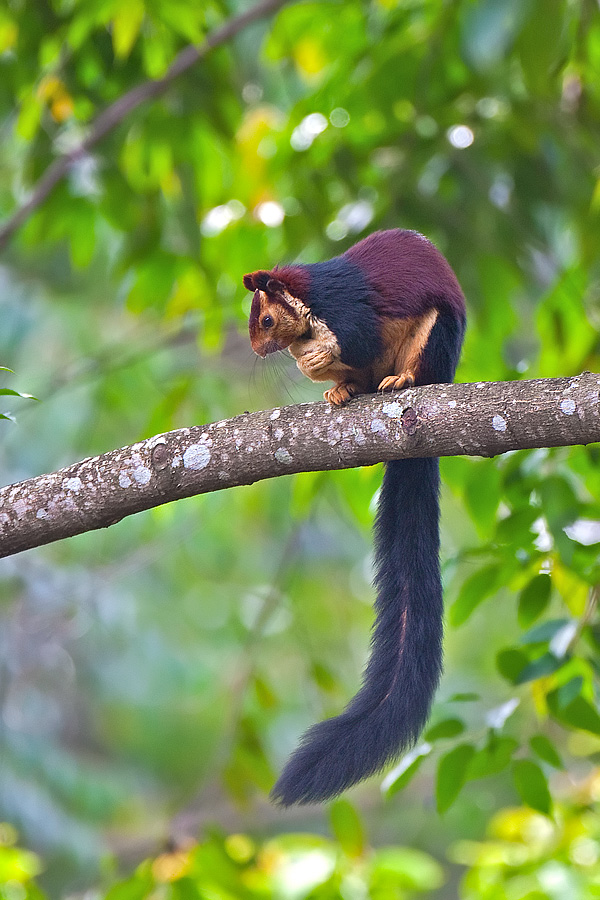 Counting Squirrels in Indian Forests | Conservation India