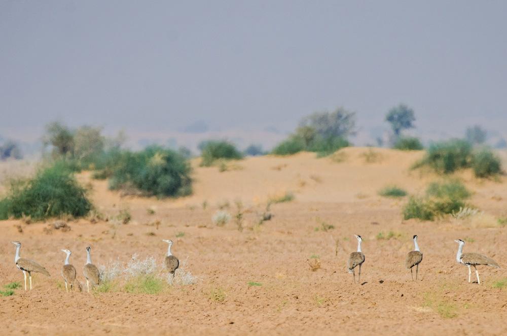 Great Indian Bustards near Desert National Park, Rajasthan ...