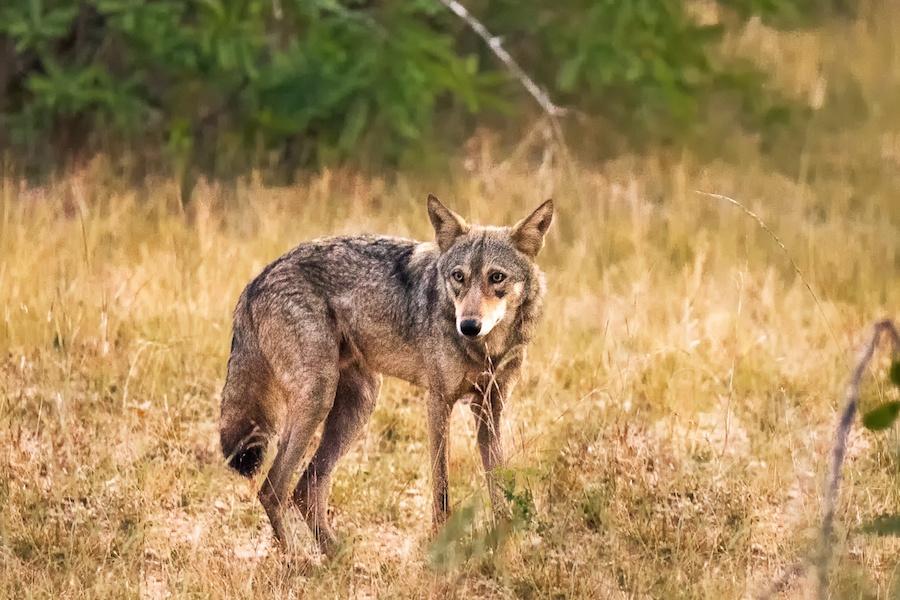 Permainan Werewolf Indonesia