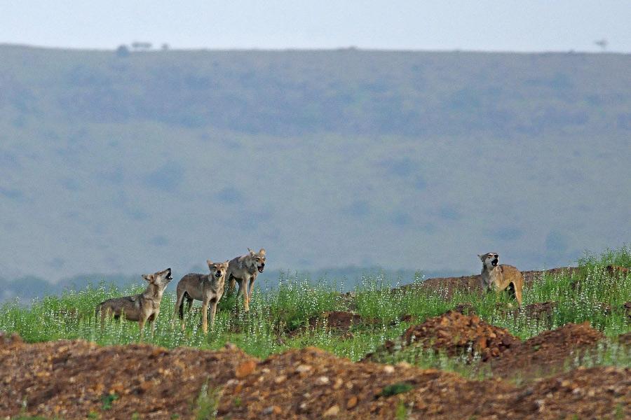 wolf in karnataka