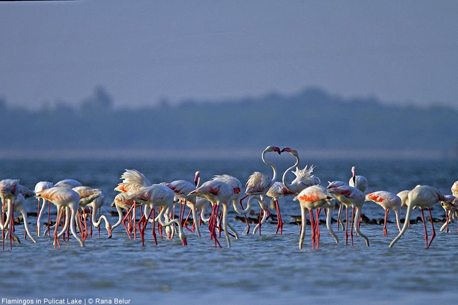 biodiversity and conservation on pulicat lake Pulicat lake is the second largest brackish water lagoon after chilika lake of  orissa along  key words: biodiversity – pulicat lake – threats – conservation.